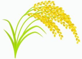 フェルラ酸 : 認知症予防や美肌効果に期待