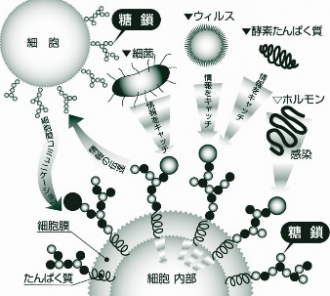 免疫機能のカギ!糖鎖栄養素